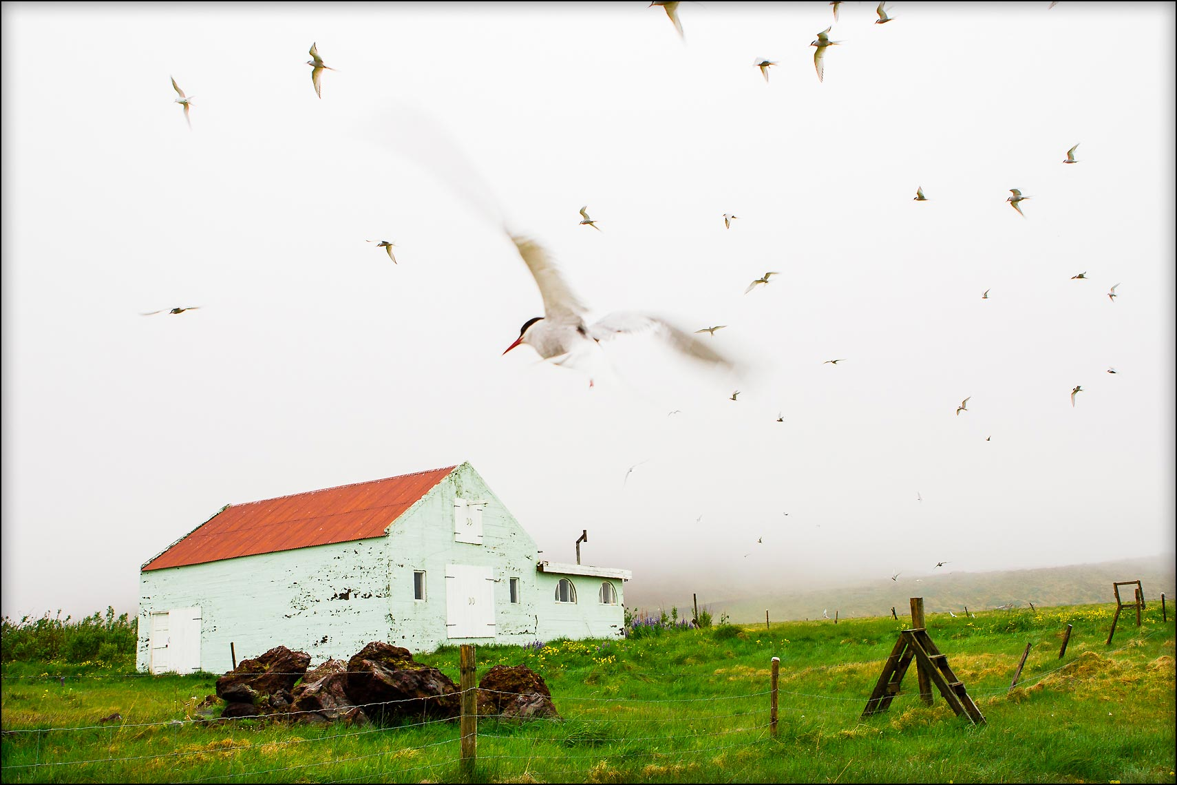Patrick_Cavan_Brown_Iceland_Artic_Terns-.jpg